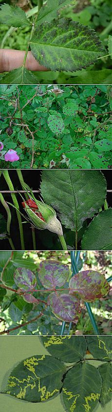 Распространенные болезни роз в картинках | Дача - впрок