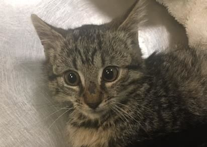LEVI - 12854 - - Manhattan  ***TO BE DESTROYED 11/22/17***LOVING LEVI THE KITTEN NEEDS YOU!  Levi and her purrfect pal, Angelo (also listed) are precious ten week old kittens who are being treated for ringworm. Levi is a sweet little girl who doesn't deserve to die for a very treatable condition. BE HER HERO BY OFFERING TO FOSTER OR ADOPT. ONLY HAS TIL NOON TOMORROW.-  Click for info & Current Status: http://nyccats.urgentpodr.org/levi-12854/