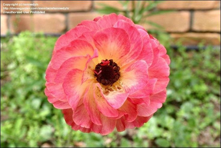 TURBAN Persian Buttercup  | Picture #19 of Ranunculus, Persian Buttercup,Turban Buttercup, Persian ...
