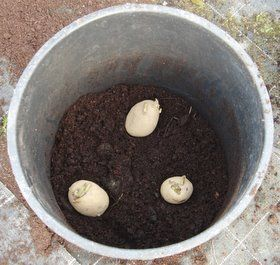 "Sprout potatoes before planting. Plant when the shoots are ¾"". Make drainage"