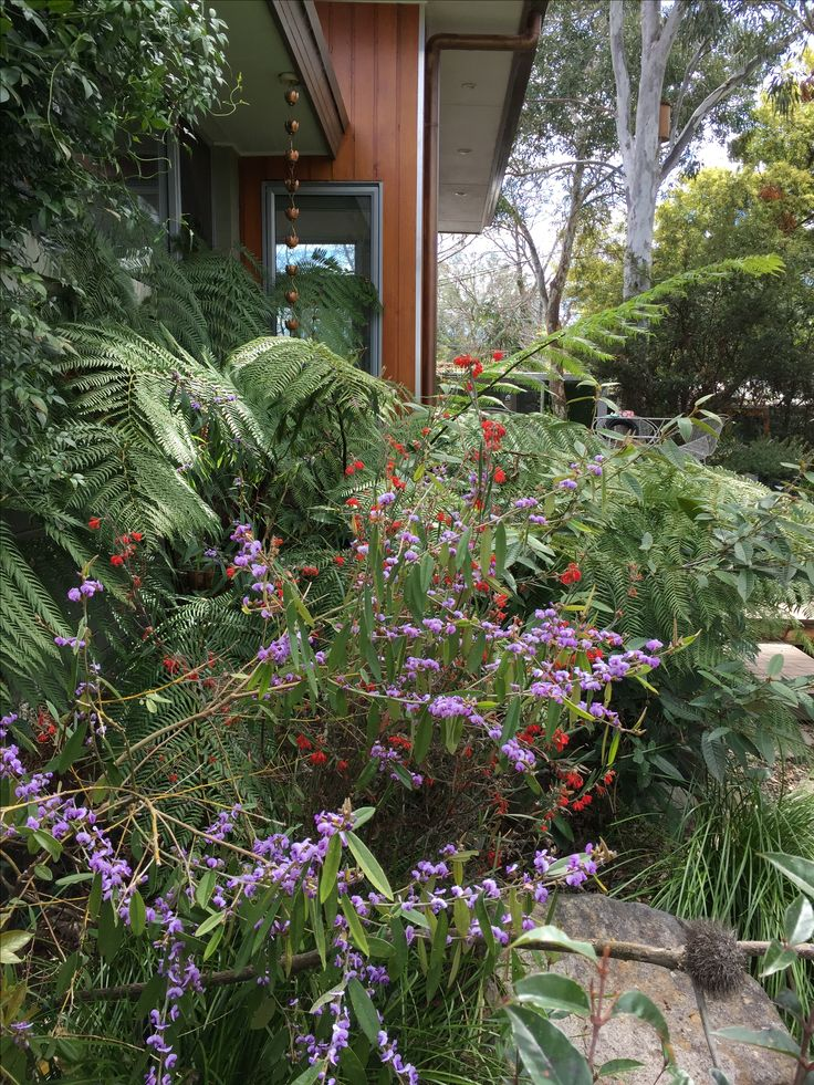 My garden today. Lovely purple Hovea flowers, with tree ferns behind