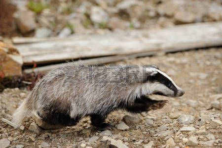 badger: Badger near its burrow in the forest