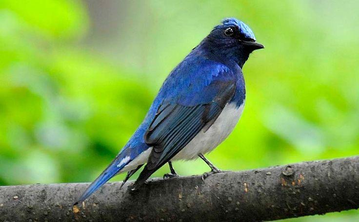 Suara Tledekan – Burung sulinganmerupakan termasuk kedalam jenis burung kicau dari golongan kelompok sikatan atau dalam bahasa latinnya flycatcher. Tledekan sendiri merupakan salah satu burung populer sama halnya dengan kenari, murai batu, anis, cendet, cucak ijo dan lain sebagaimya. Para kicau mania beralasan memilih burung ini karena memiliki suara gacor panjang mirip orang bersiul ataumirip …