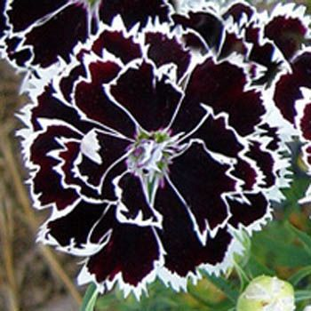Dianthus Heddewigii black and white... very few flowers have black so I think they are kinda cool...