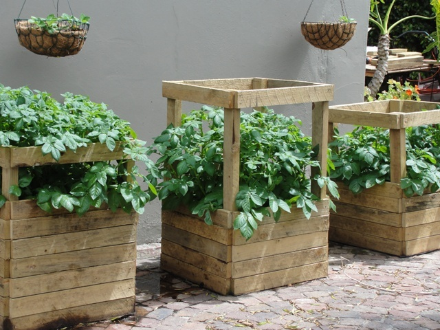 53 best Growing Potatoes images on Pinterest Grow potatoes