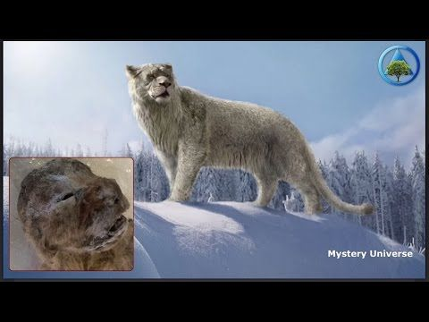 Extinct cave lions, almost perfectly preserved, discovered in Siberia - YouTube