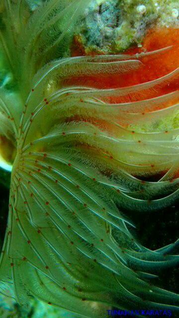 Tup kurdu#scuba #diving #scubadiving #huzur #derinlerde #underwarter #underwaterphotography #ebcousto #Coustodive #egebarakuda