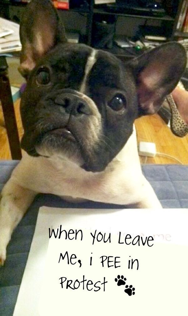 """""""When you leave me I Pee in Protest"""", cause that's what French Bulldogs DO!"""