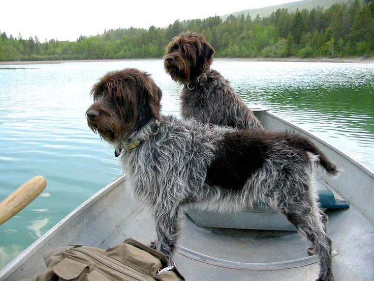 wire haired pointing griffons | Wirehaired Pointing Griffon