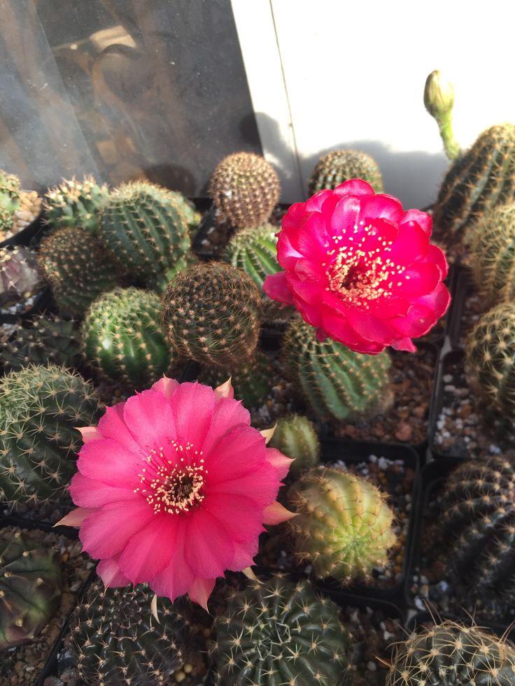 Lobi for sales #cacti #cactii #cactus #succulove #succulents #succulent #plant #plants #lobivia #lobi #pink #flowers #xuongrong #saigon #erialmelody #erialshop