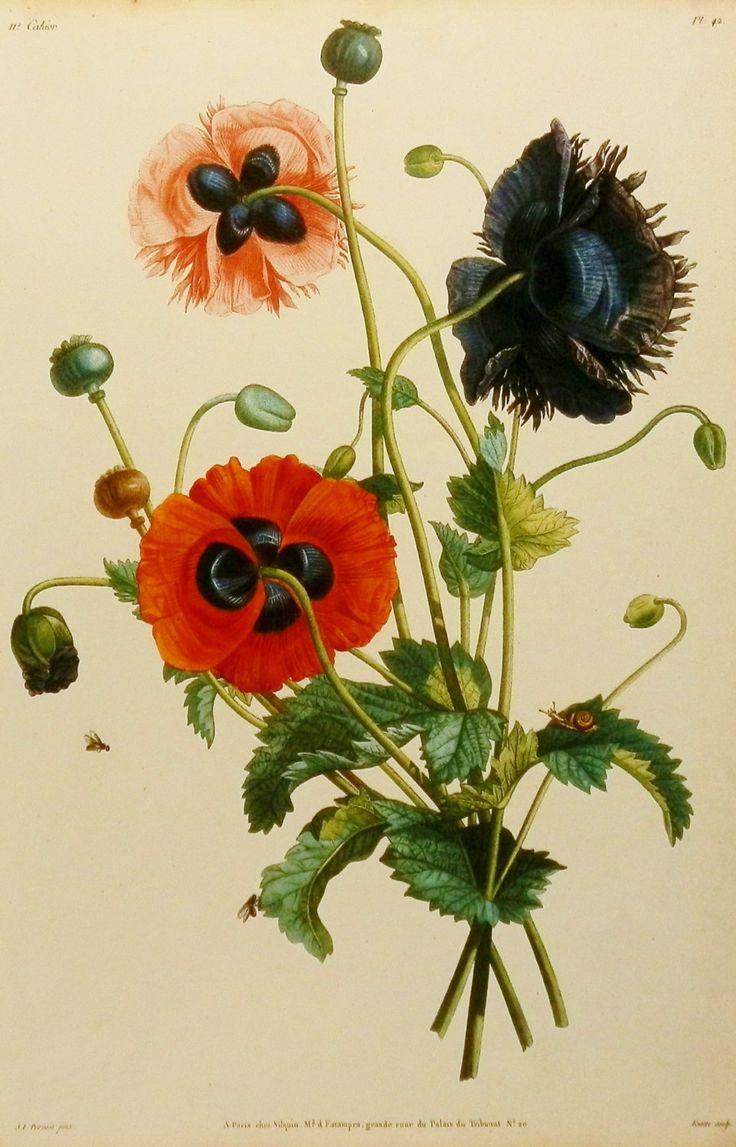 Papaver somniferum poppy flower print wall decor for Botanical tattoo london