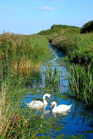 Swans in Cley nature reserve, North Norfolk, England