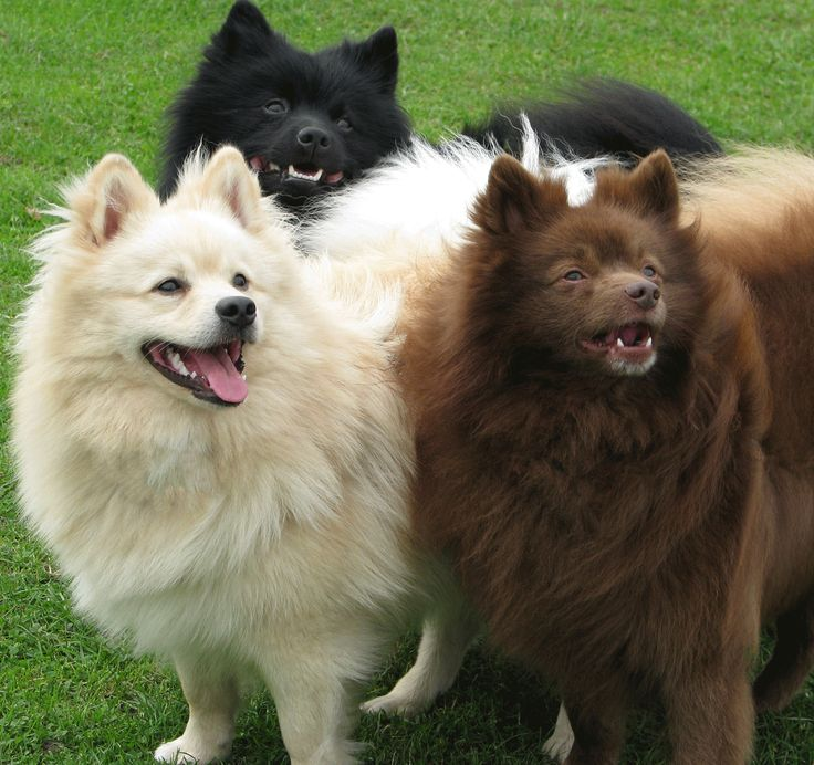 #VetsNorthSomerset The Klein German Spitz is a very old breed of dog descended from Nordic herding dogs that probably came to Europe with the Vikings.