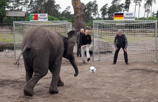 象のネリー(Nelly)がサッカー欧州選手権2012(UEFA Euro 2012)のドイツ対ポルトガルの試合結果を予想