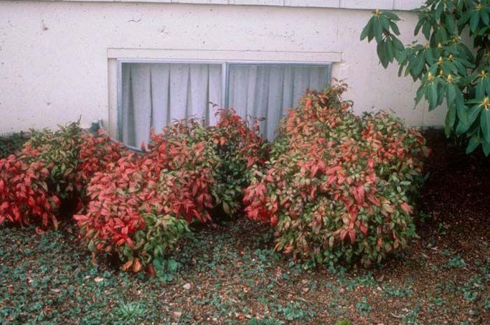 Plant photo of: Nandina domestica 'Compacta'