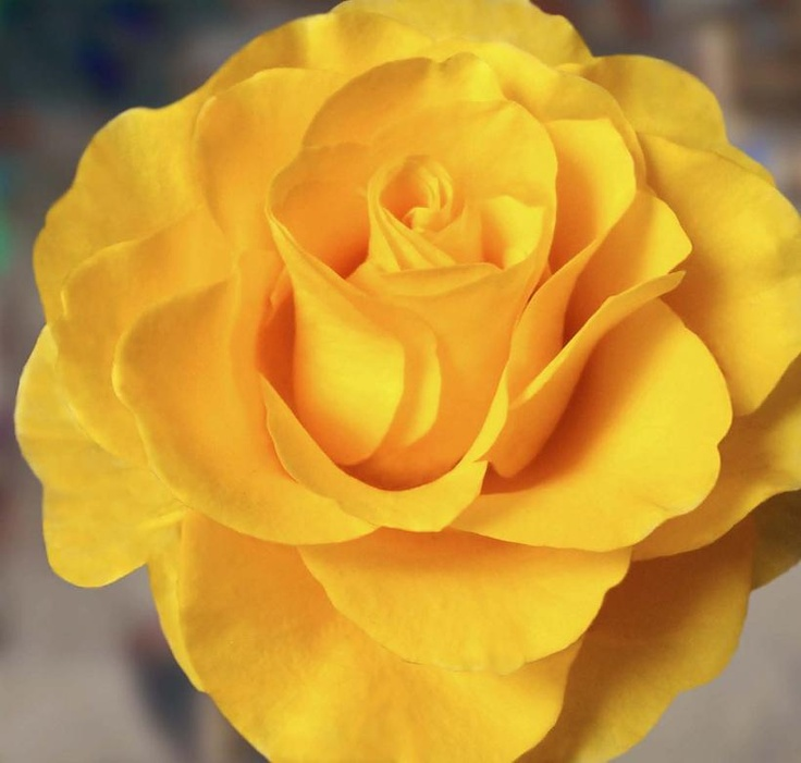 112 best yellow rose of texas images on pinterest yellow roses yellow rose of texas mightylinksfo