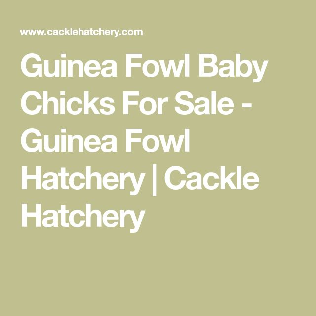 Guinea Fowl Baby Chicks For Sale - Guinea Fowl Hatchery | Cackle Hatchery