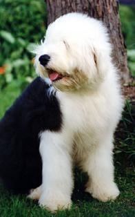 Bob  Antiguo perro Inglés ovejero. es un perro encantador totalmente dedicado a su familia