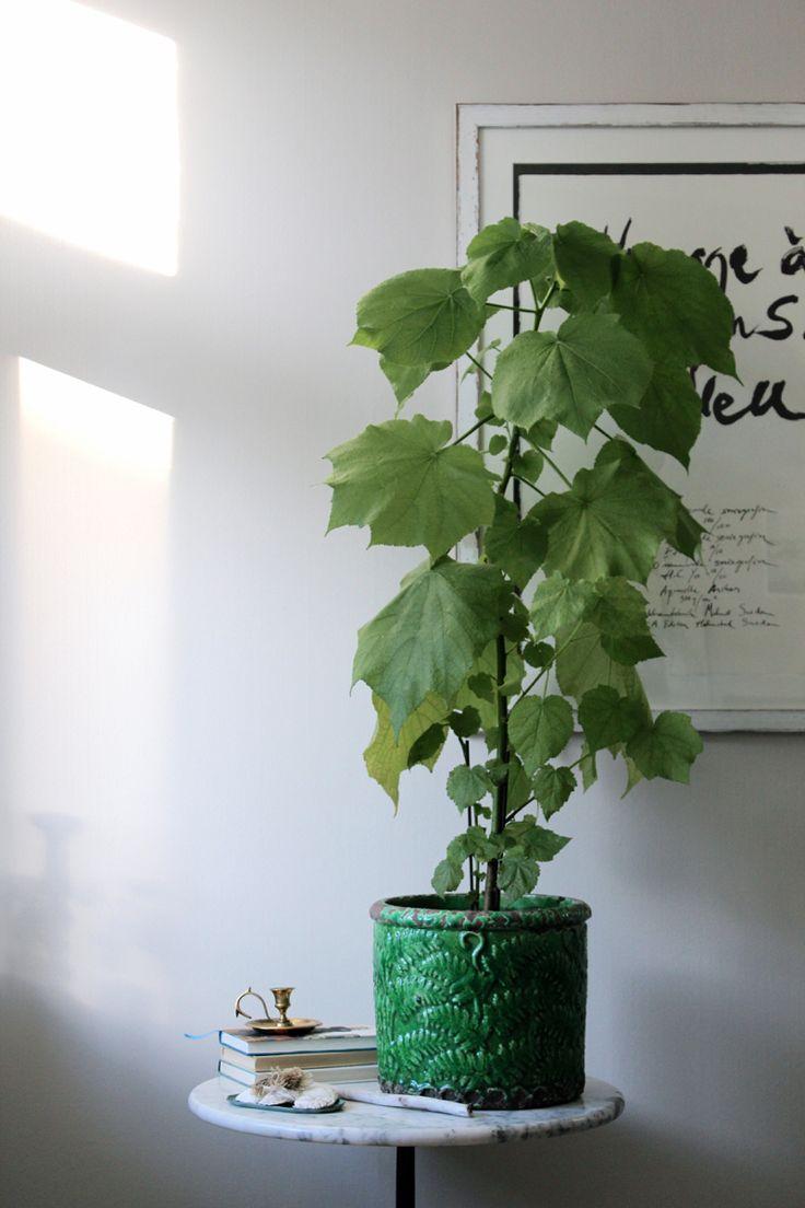 tantjohanna_rumslind: Plantera om, mycket ljus (i fönster) men inte för stark sol. Håll jorden fuktig hela tiden, ge näring.
