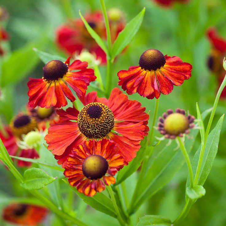 Copper-red, daisy-like flowers over a long season