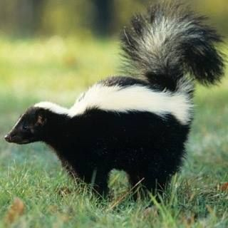 It might be Saturday but is it super smelly Saturday? www.zoovue.com #animals #zoo #wildlife #conservation #skunk http://ift.tt/2ddHQdE - http://ift.tt/1HQJd81
