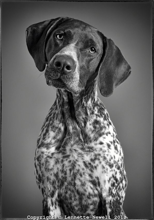 Black and white portrait of German Shorthaired Pointer ...