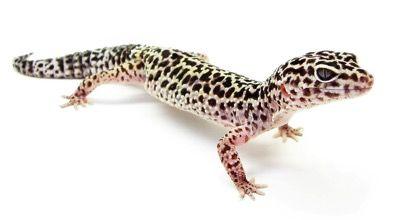 http://www.zocopet.es/blog/gecko-leopardo-a-nuestro-lado-por-mucho-tiempo/ Gecko Leopardo