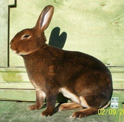 кролик рекс фото: 31 тыс изображений найдено в Яндекс.Картинках