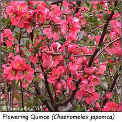 My memories of Granny's winter Flowering Quince (Chaenomeles japonica)