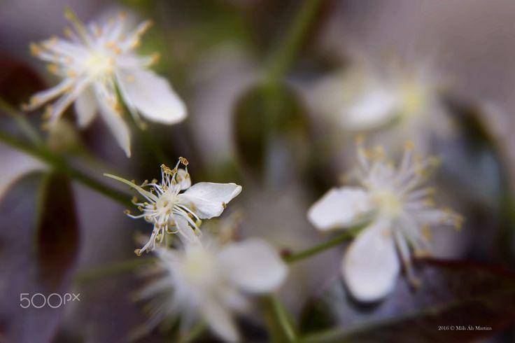 Eugenia Brasiliana Flower! - Flower from the Brazilian Cherry Tree named…