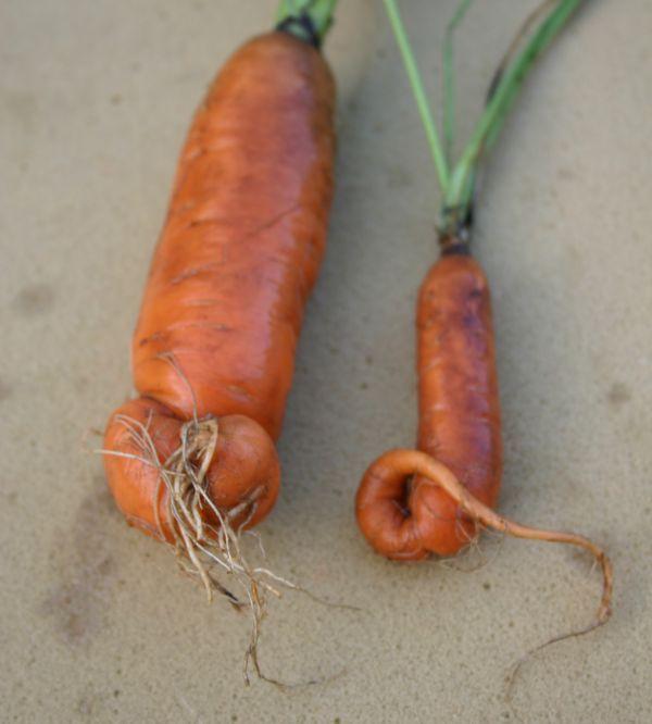 A sárgarépa és a petrezselyem termésdeformációjának okai