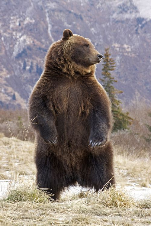 "radivs:  'Interior Grizzly Alert & Standing' by Gary Lackie ""I found this shot while going through some of my archives. This is an interior female grizzly. Bears will stand when they can't figure out what something they hear or smell is. They do it, to try to get a visual and not as a threat."" ""One year my brother and myself were down at Katmai in mid September. We were the only ones in the campground. The lodge was closed and we had it pretty much to ourselves. It was our favorite time ..."