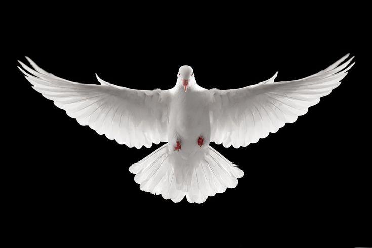 Peace Dove Tattoo
