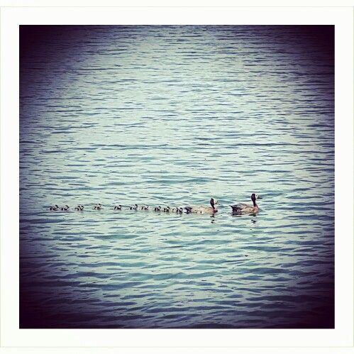 Patos en fila