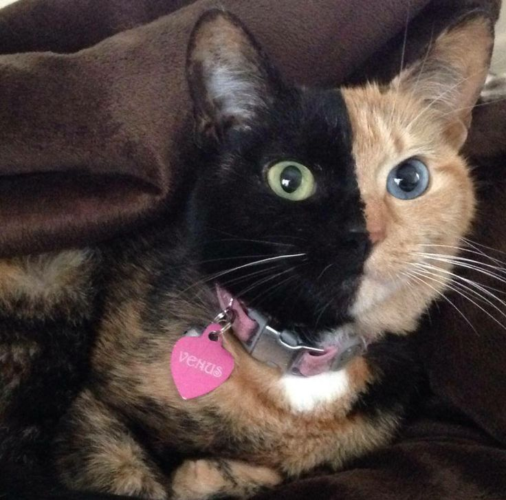 amazing chimera cat venus lions tigers cats and dogs