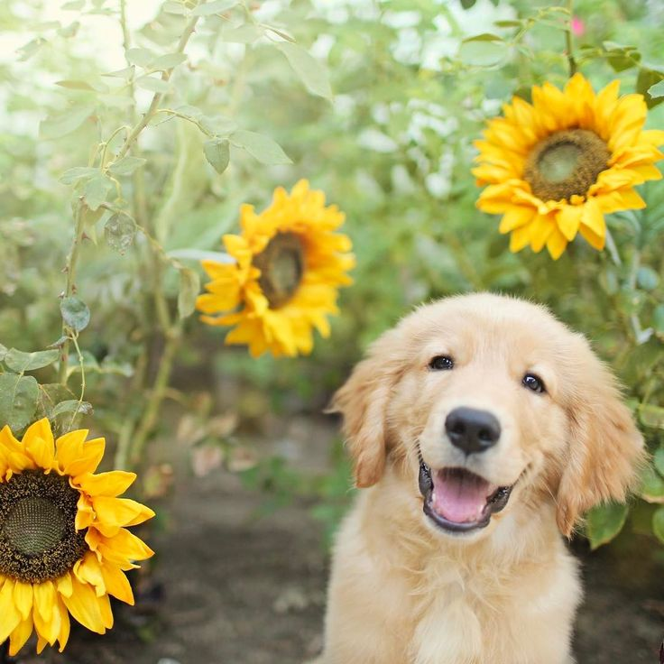 Two favorite things: sunflowers and puppy!