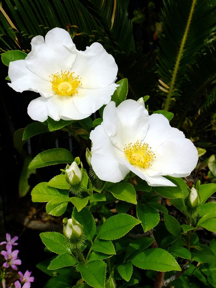 1000 images about cherokee rose tattoos on pinterest for Cherokee rose