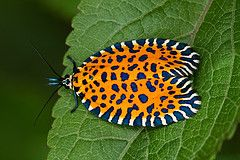Leaf Roller Moth: Heart Bugs, Rollers Moth, Heart Shap Leaf, Butterflies Insects, Flickr Com, Leaves, Leaf Rollers, Seth Patterson, Bugs Leaf