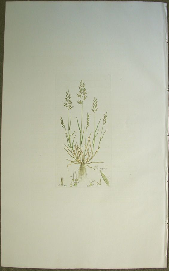 Hard Meadow-Grass, Poa rigida; panicula lanceolata disticho-secunda (rigida),... Price: US$199.00 (includes shipping costs) LINK to LARGER image Original hand-colored engraving Artist: William Curtis.