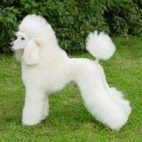 White Poodle - Caniche