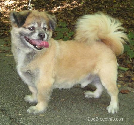 Peek-A-Pom Dog Breed Information and Pictures