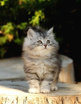 This fluffy bundle is another Siberian Kitten, aka my future cat. They produce less allergens so my bf won't complain. Plus they are great for families and super precious!