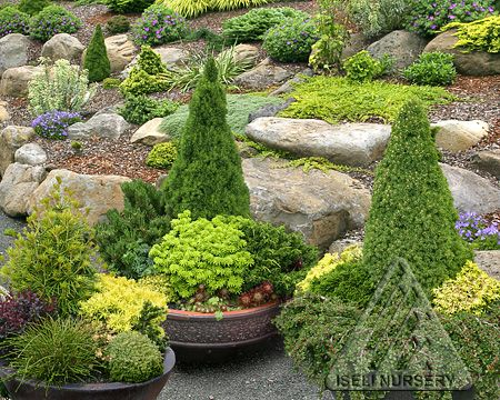 Conifer Garden Ideas dwarf conifers can add verticality Colorful Dwarf And Miniature Conifers Are Perfect For Growing In Containers In The Small Garden