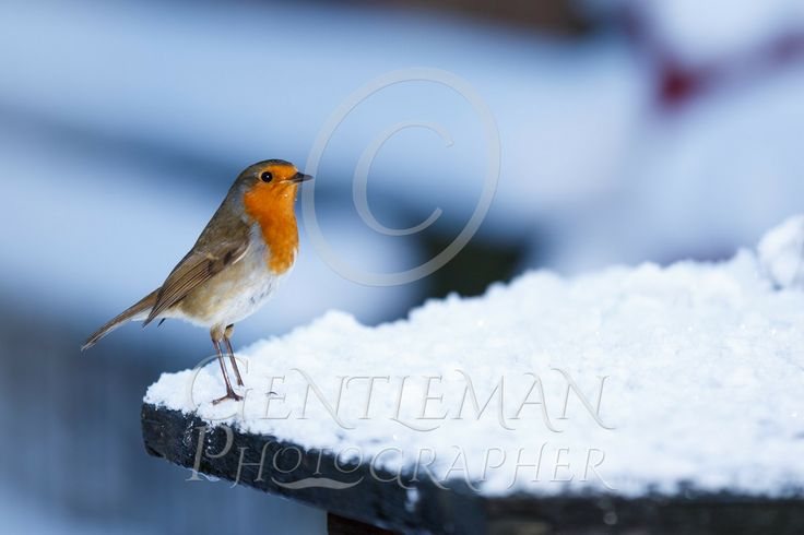 Hop-hop-hopping along Cheeky robin stopped by for feeding. Can't blame him though. Perfect cold frosty morning photograph