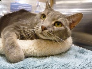 Lace is an adoptable Tabby - Grey Cat in Huntsville, AL. LACE ~ sweet, affectionate lap cat ~ gentle, kind, generous ~ just wants her own people!! Lace is Janis's (tortoiseshell) sister ~ the family w...