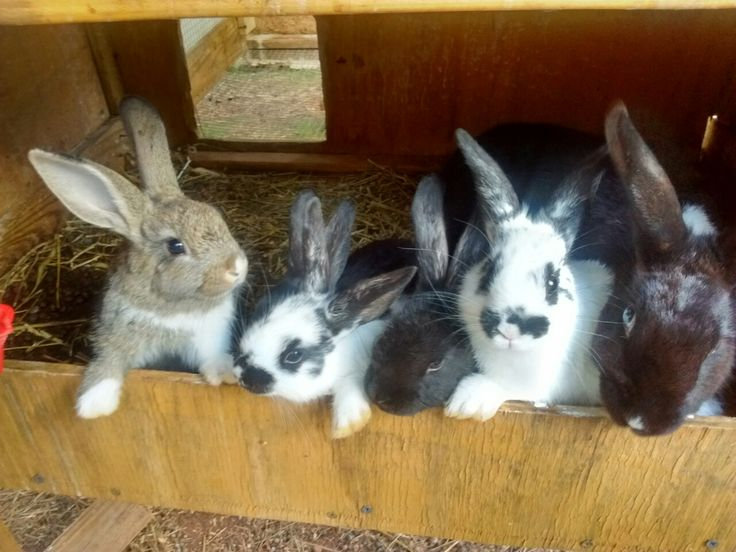 BABY RABBITS FOR SALE!! IN MONROE, GEORGIA AREA!!