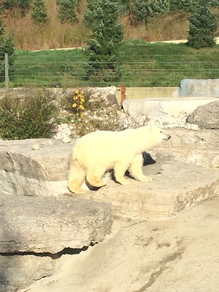 Polar Bear steals the show