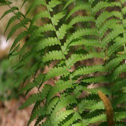 Tennessee Wholesale Tree Nursery - Cinnamon Fern, $4.99 (http://www.tnnursery.net/cinnamon-fern/)