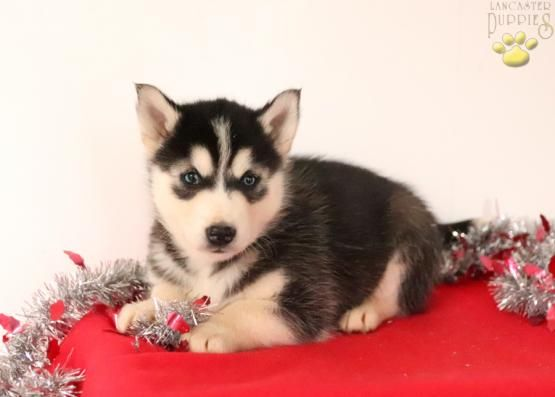 Pin By Zoey Weimann On Cute Pomsky Puppies Pomsky Lancaster