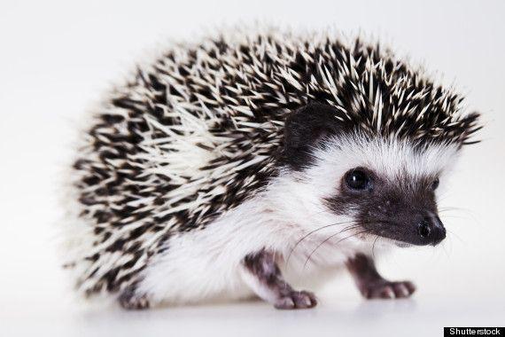 salt and pepper Hedgehog